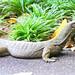 Komodo Dragon, Singapore botanical Garden - Explore