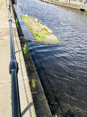 Cygnets in Leith Docks (ianharrywebb) Tags: iansdigitalphotos leith scotland edinburgh swanswans cygnet firthofforth