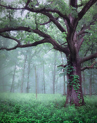 Oak and Fog (michellewendling907) Tags: fog oak mist rainyday rain forest woods outside outdoors melancholy