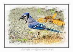 A break in the rain ... (NancySmith133) Tags: bluejay snail backyardbirds centralfloridausa