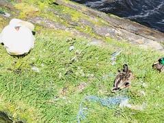 Cygnet in Leith Docks (ianharrywebb) Tags: iansdigitalphotos leith scotland edinburgh swanswans cygnet statue firthofforth