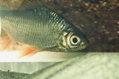 Fish Face (hasham2) Tags: fish barb closeup eyes nikon d7100 tamron 90mmf28 macro