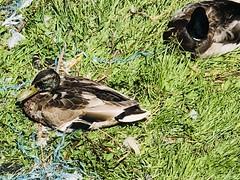 Cygnet in Leith Dock (ianharrywebb) Tags: iansdigitalphotos leith scotland edinburgh swanswans cygnet firthofforth