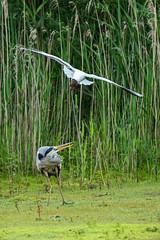 Harrased Grey Heron (cabalvoid) Tags: woodland action wildlife nature water heron lincolnshire marsh lake a7riii bird greyheron