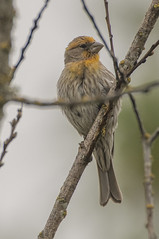 Off color finch (woodwindfarm) Tags: house finch male yellow sundaylights