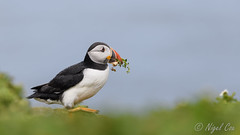 Puffin on the run (NikonNigel) Tags: copyright©nigelcox pembrokeshire places skomerisland wales atlanticpuffin rain flowers weather running
