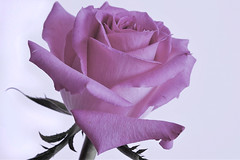 A rose is a rose (geraldineh.dutilly) Tags: pink rose flower spring white