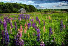 Meadow of Lupines (Tom Mortenson) Tags: country rural wildflowers lupines logbarn wisconsin nevawisconsin langladecounty usa america northamerica canon canon6d canoneos 1740l landscape geotagged digital meadow colorful colours colors countryside weatheredwood logbuilding farm barn field rustic hdr photomatix tonemapping blooming midwest breathtakinglandscapes