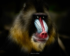Mandrill 2019 (EBoss Fotografie) Tags: mandrill monkey primate wildlife zoo dierentuin rhenen holland nederland netherlands male canon colors light soft dreamy soe twop supershot face cute tamron100400mm animalplanet