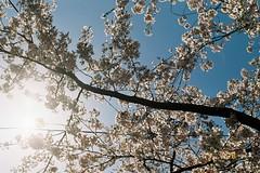 Looking up (しまむー) Tags: pentax mz3 fa 43mm f19 limited kodak gold 200 弘前城 桜祭り