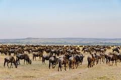 #TBT On safari: The Great Wildebeest Migration (John Piekos) Tags: africa adventure wildlife wildanimal greatmigration grasslands adobestock wildebeest tanzania plains travel safari animal
