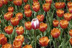Centre of attention (GEMLAFOTO) Tags: canadiantulipfestival festivalcanadiendestulipes tulips tulipes flower fleurs michelgauthier nikond7100