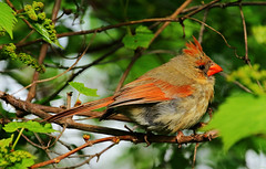 """Baby female Cardinal (Darrell Colby """" You Call The Shots """") Tags: baby female cardinal femalecardinal londonontario darrellcolby"""