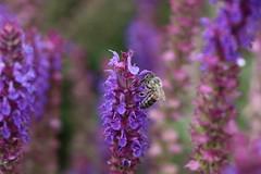 Bee at work part II (michael.heucke) Tags: bees bienen makrofotografie macrophotography makro macro flower blume nature natur bee biene