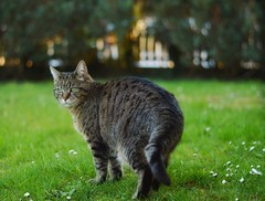 Cat is the king of Garden 👑🐱 . . #tigercat #domesticcat #cat #domesticanimal #feline #🐱 #fur #kitten #tabby #cute #furry #eyes #catsoflickr #cats #flickrcat #catstagram #love #catlover #animal #flickrgood #catoftheday #meow #animals #petsfli (camydiscover) Tags: love photooftheday fur catlover domesticcat tigercat catsoflickr kittens cute eyes kitten flickrcat cat flickrgood animals furry catsflickr domesticanimal catstagram feline cats meow catoftheday animal tabby petsflickr ilovemycat