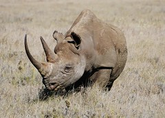 Black Rhinoceros Or Hook-lipped Rhinoceros (Diceros bicornis) (Susan Roehl) Tags: kenya2015 lewawildlifeconservancy lewadowns kenya eastafrica blackrhino browsing eatleavesandbushes rhinossolitary feedatnight sharphearing keensenseofsmell twohorns poaching criticallyendangered 3100left hornsgrow3inayr requireadequatesecurity innationalandprivatereserves sueroehl photographictours naturalexposures panasonic lumixdmcgh4 100300mmlens handheld takenfromjeep cropped veryfaraway ngc coth5
