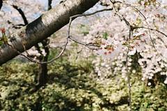 Sakura (しまむー) Tags: pentax mz3 fa 43mm f19 limited kodak gold 200 弘前城 桜祭り