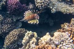 Under Water World Abu Dabbab (Jan Cancík) Tags: flóra nikon abudabbab water moře redsea pteroismiles coral redseagovernorate sea perutýnďábelský voda pteroismíle d800 dicapacwps5 flora nikonafsnikkor1635mmf4gedvr dovolená2019 africa perutýnžoldnéř egypt animals fauna korál egypt2019 alqusir