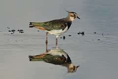 Northern Lapwing (Vanellus vanellus) (Pete Rodgers) Tags: bird birds lapwing northernlapwing lodmoor rspb rspblodmoor wader waterbird