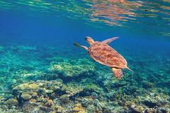 Green sea turtle (Jan Cancík) Tags: flóra greenseaturtle nikon africa abudabbab plazi water moře redsea d800 coral waterturtles redseagovernorate sea cheloniamydas voda reptiles nikonafsnikkor1635mmf4gedvr dicapacwps5 flora karetaobrovská dovolená2019 želvy turtles egypt animals fauna korál egypt2019 alqusir