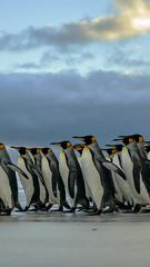 King Patrol (timexzy123) Tags: coast king beach birds falklands nature penguins sea wildlife