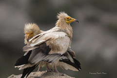 Neophron percnopterus (Francesc F P) Tags: neophronpercnopterus aufrany àguilablanca voltorpetit voltoregipci alimoche abanto guirre buitreegipcio egyptianvulture percnoptèredégypte congostdecollegats animal au ave bird ocell oiseau catalunyaocells catalunyafauna catalunyanatura naturadecatalunya faunadecatalunya ocellsdecatalunya birding birdwatching