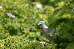 Nest building (northdevonfocus) Tags: birds ornithology nature spring birdwatching birdphotography ukgardenbirds