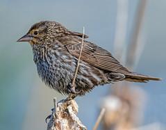 Profiler (edmason88) Tags: birdprofile faceleftyourright detail tamron150600 strathconacounty alberta