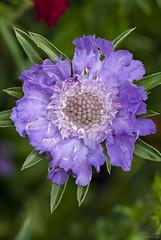 Scabiosa caucasica 'Perfecta Blue' (louisberk.com) Tags: scabiosacaucasica perfectablue flower focusstack fujixh1 fujixf8028macro