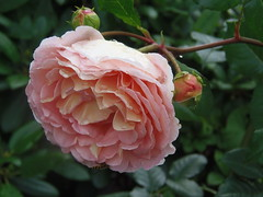 Rosen-Tränen ♥♡♥ (swetlanahasenjäger) Tags: rose regentropfen gartenblume 200619 деньпамятимоеймамыанныы coth alittlebeauty coth5 ngc npc