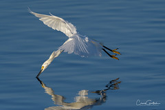 Moment of Truth (craig goettsch) Tags: sanibel2019 dingdarlingnwr egret snowyegret bird avian nature wildlife animals nikon d500