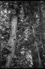looking up, into the trees, canopy, Asheville, NC, Voigtlander Vitomatic II, Rera Pan 400, HC-110 developer, 6.14.19 (steve aimone) Tags: lookingup trees treeforms treetrunks canopy asheville northcarolina vitomatic voigtlandervitomaticii voigtlander rerapan400 hc110developer 35mm 35mmfilm film rangefinder blackandwhite monochrome monochromatic