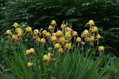 One is never enough (jmunt) Tags: gardenflower garden iris