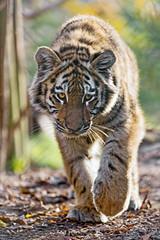 Young tigress walking (Tambako the Jaguar) Tags: tiger big wild cat young cub female tigress amur siberian portrait face walking pacing close paw sunny soil autumn walter zoo gossau switzerland nikon d5