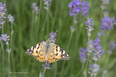 Distelvlinder (linda.ogentroost) Tags: vlinder