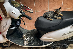 These two (Melissa Maples) Tags: antalya turkey türkiye asia 土耳其 apple iphone iphonex cameraphone meltem summer mso kittens animals kitties cats motorbike motorcycle scooter sleeping asleep nap