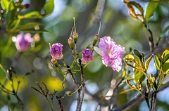 In The Bright Morning Light (ACEZandEIGHTZ) Tags: brightlight flowers buds bokeh nikond3200 tree plant leaves branches floral nature