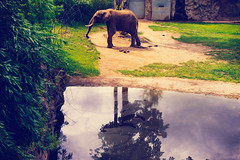 07907 (fr4dd) Tags: elephant pond zoo fauxvintage reflection