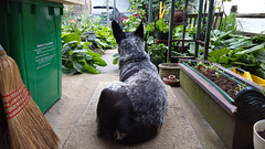 Backyard Watch (Scouttyboy) Tags: cattledog blueheeler stumptailedcattledog stumpy garden littledoglaughedstories
