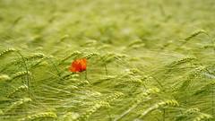 red solitude (Blende1.8) Tags: solitude poppy flower nature outdoor feld mohn mohnblume rotermohn redpoppy field rural plant plants green greenandred complementarycolours complementary complementarycolors texture bokeh komplementärfarben farbig farben samyang 45mm samyang45mm18af