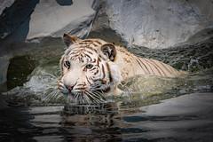 DSC_0312.jpg (markus.eymann@hotmail.ch) Tags: raubkatze ungesättigt dunkel nikonistas raubtier tiger photoshopartist schwarz adobephotoshopcc niikonphotography tier adobelightroom säugetier natur fotografie katalog