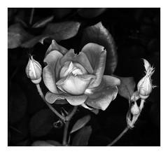 Rose Bush (kinglear55) Tags: rose flower film ishootfilm filmisnotdead olympusom2n ringflash kodacolor blackandwhite monochrome analog art photography adobe elements danscamera
