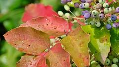 Mahonie Farbenpracht im Vorgarten nach Regen (Sanseira) Tags: nördlingen hecke mahonie blätter bunt wassertropfen