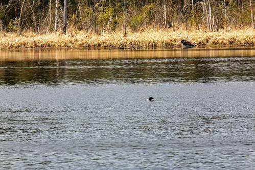 Loon, Heart Lakes, Prince Albert National Park, Saskatchewan