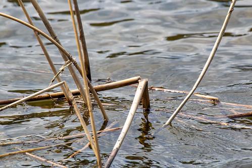 Last years reeds, Heart Lakes, Prince Albert National Park, Saskatchewan