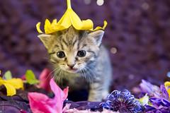 20190613_7907c (Fantasyfan.) Tags: fantasyfanin raitapaidat kuunkissan kitten european breed