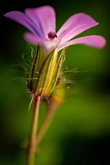 Blüten (markus.eymann@hotmail.ch) Tags: bokeh pflanze schwarz dunkel nikonistas photoshopartist adobephotoshopcc fotografie natur blume farbenfroh adobelightroom niikonphotography katalog