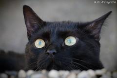 Auf der Lauer / On the lurk (R.O. - Fotografie) Tags: auf der lauer on lurk buffy katze cat rofotografie nieheim outdoor outside blick view panasonic lumix dmcgx8 dmc gx8 gx 8 haustier pet animal tier süs süss suess nahaufnahme closeup close up