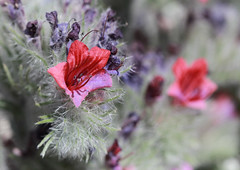 White-leaved Bugloss (Wild Chroma) Tags: echium albicans echiumalbicans bugloss spain flora sierranevada