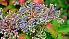 Blaue Beerentrauben an der Mahonie (Sanseira) Tags: nördlingen mahonie bunt beerentraube hecke